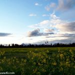 mustard field