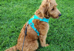 A dog harness is great for leash training